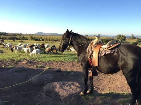 Paseo a caballos mientras el pastor lleva a sus ovejas