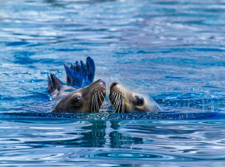 Sea Lion Kiss