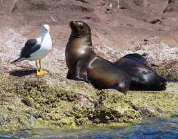 Sea Lion Sunbathing 1