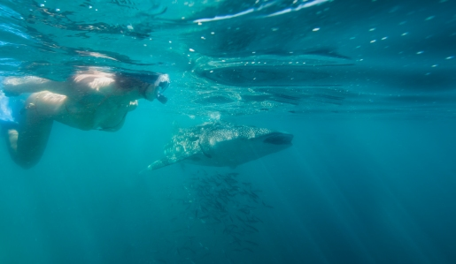 Snorkeling - Whale Sharks-